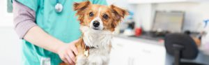Jack Russell cross chihuahua long-hair with vet